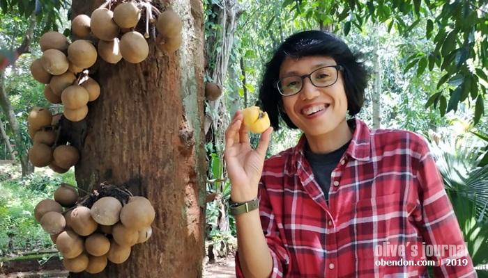 Stelechocarpus burahol, pohon kepel, pohon kepel, manfaat buah kepel, pohon langka di indonesia